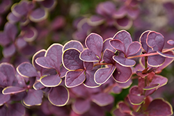 First Editions® Toscana™ Barberry (Berberis thunbergii 'BailJulia') at Tree Top Nursery & Landscaping