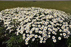 Becky Shasta Daisy (Leucanthemum x superbum 'Becky') at Tree Top Nursery & Landscaping