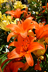 Brunello Lily (Lilium 'Brunello') at Tree Top Nursery & Landscaping