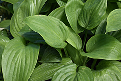 Humpback Whale Hosta (Hosta 'Humpback Whale') at Tree Top Nursery & Landscaping