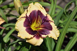 Blackthorne Daylily (Hemerocallis 'Blackthorne') at Tree Top Nursery & Landscaping