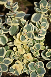 Lime Twister Stonecrop (Sedum 'Lime Twister') at Tree Top Nursery & Landscaping
