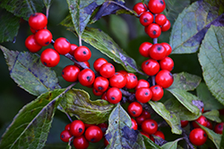Berry Nice® Winterberry (Ilex verticillata 'Spriber') at Tree Top Nursery & Landscaping