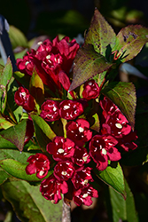 Maroon Swoon® Weigela (Weigela 'Slingco 2') at Tree Top Nursery & Landscaping