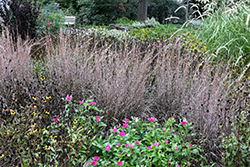 Standing Ovation Bluestem (Schizachyrium scoparium 'Standing Ovation') at Tree Top Nursery & Landscaping