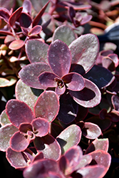 Wildfire Stonecrop (Sedum 'Wildfire') at Tree Top Nursery & Landscaping