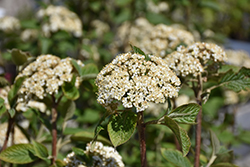 Mohican Viburnum (Viburnum lantana 'Mohican') at Tree Top Nursery & Landscaping