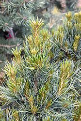 Westerstede Swiss Stone Pine (Pinus cembra 'Westerstede') at Tree Top Nursery & Landscaping