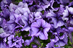 Daddy Blue Petunia (Petunia 'Daddy Blue') at Tree Top Nursery & Landscaping