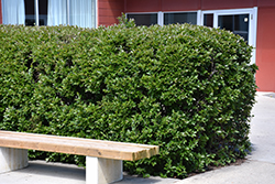 Hedge Cotoneaster (Cotoneaster lucidus) at Tree Top Nursery & Landscaping