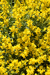 Bangle® Dyers Greenwood (Genista lydia 'Select') at Tree Top Nursery & Landscaping