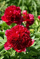 Red Charm Peony (Paeonia 'Red Charm') at Tree Top Nursery & Landscaping