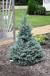 Sester Dwarf Blue Spruce (Picea pungens 'Sester Dwarf') at Tree Top Nursery & Landscaping