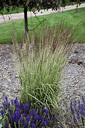 El Dorado Feather Reed Grass (Calamagrostis x acutiflora 'El Dorado') at Tree Top Nursery & Landscaping