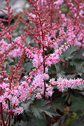 Delft Lace Astilbe (Astilbe 'Delft Lace') at Tree Top Nursery & Landscaping