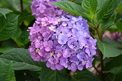Bloomstruck® Hydrangea (Hydrangea macrophylla 'PIIHM-II') at Tree Top Nursery & Landscaping
