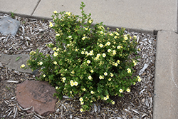 Lemon Meringue™ Potentilla (Potentilla fruticosa 'Bailmeringue') at Tree Top Nursery & Landscaping