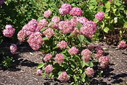 Invincibelle® Ruby Smooth Hydrangea (Hydrangea arborescens 'NCHA3') at Tree Top Nursery & Landscaping