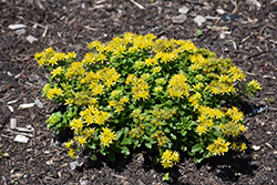Little Miss Sunshine Stonecrop (Sedum 'Little Miss Sunshine') at Tree Top Nursery & Landscaping