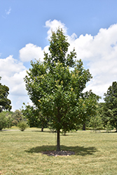 Heritage English Oak (Quercus x macdanielii 'Clemons') at Tree Top Nursery & Landscaping