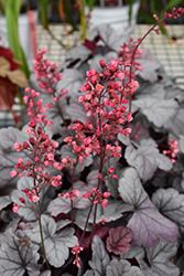 Dolce® Silver Gumdrop Coral Bells (Heuchera 'Silver Gumdrop') at Tree Top Nursery & Landscaping