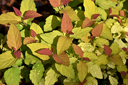 Double Play® Candy Corn® Spirea (Spiraea japonica 'NCSX1') at Tree Top Nursery & Landscaping