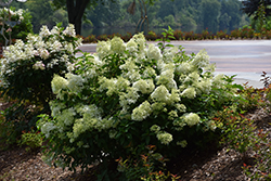 Little Lime® Hydrangea (Hydrangea paniculata 'Jane') at Tree Top Nursery & Landscaping