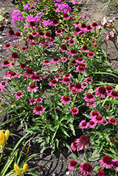 Delicious Candy Coneflower (Echinacea 'Delicious Candy') at Tree Top Nursery & Landscaping