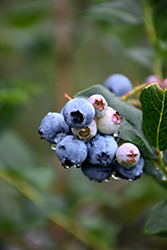 Chippewa Blueberry (Vaccinium 'Chippewa') at Tree Top Nursery & Landscaping