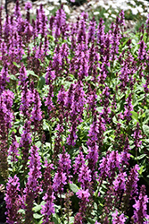 Rose Marvel Meadow Sage (Salvia nemorosa 'Rose Marvel') at Tree Top Nursery & Landscaping