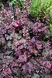 Carnival Candy Apple Coral Bells (Heuchera 'Candy Apple') at Tree Top Nursery & Landscaping