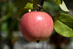 Prairie Magic Apple (Malus 'Prairie Magic') at Tree Top Nursery & Landscaping