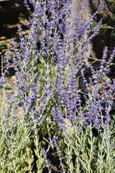 Little Spire Russian Sage (Perovskia 'Little Spire') at Tree Top Nursery & Landscaping