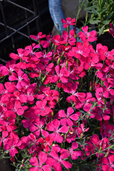 Zing Rose Maiden Pinks (Dianthus deltoides 'Zing Rose') at Tree Top Nursery & Landscaping