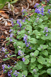 Early Bird Catmint (Nepeta 'Early Bird') at Tree Top Nursery & Landscaping
