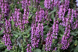 Bumbleberry Meadow Sage (Salvia nemorosa 'Bumbleberry') at Tree Top Nursery & Landscaping