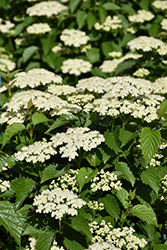Autumn Jazz Viburnum (Viburnum dentatum 'Ralph Senior') at Tree Top Nursery & Landscaping