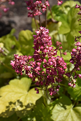 Timeless Glow Coral Bells (Heuchera 'Timeless Glow') at Tree Top Nursery & Landscaping