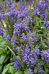 Magic Show® Wizard of Ahhs Speedwell (Veronica 'Wizard of Ahhs') at Tree Top Nursery & Landscaping