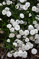 Peter Cottontail Yarrow (Achillea ptarmica 'Peter Cottontail') at Tree Top Nursery & Landscaping