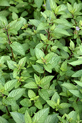 Chocolate Mint (Mentha x piperita 'Chocolate') at Tree Top Nursery & Landscaping