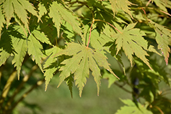 Jack Frost® Arctic Jade® Maple (Acer 'isIAJ') at Tree Top Nursery & Landscaping