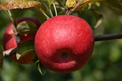 Connell Red Apple (Malus 'Connell Red') at Tree Top Nursery & Landscaping