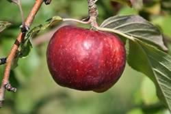 Frostbite™ Apple (Malus 'MN 447') at Tree Top Nursery & Landscaping
