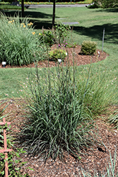 Blackhawks Bluestem (Andropogon gerardii 'Blackhawks') at Tree Top Nursery & Landscaping
