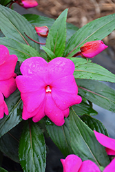 Super Sonic® Lilac New Guinea Impatiens (Impatiens hawkeri 'Super Sonic Lilac') at Tree Top Nursery & Landscaping