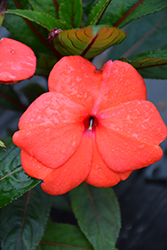 Super Sonic Dark Salmon New Guinea Impatiens (Impatiens hawkeri 'Super Sonic Dark Salmon') at Tree Top Nursery & Landscaping