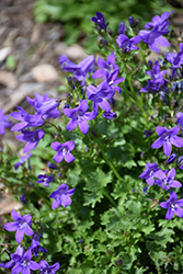 Clockwise™ Compact Deep Blue Dalmatian Bellflower (Campanula portenschlagiana 'Clockwise Compact Deep Blue') at Tree Top Nursery & Landscaping